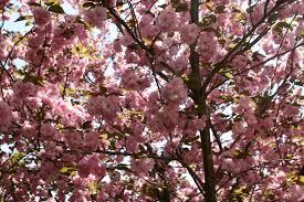 pink flower trees