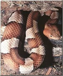 copperhead pictures