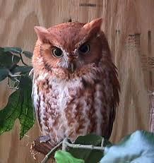 screech owls series