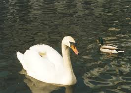 duck swan