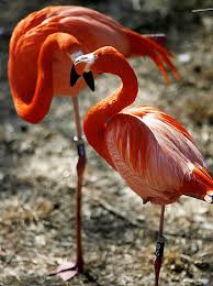 pictures of flamingos