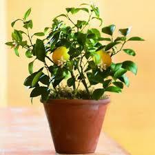 dwarf meyer lemon trees