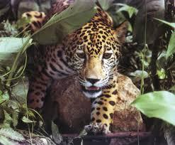jaguar animal habitat