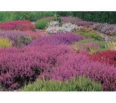 heather shrubs