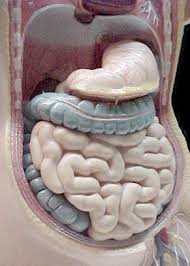 model of the digestive system