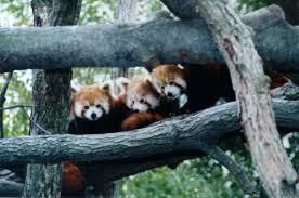 red pandas diet