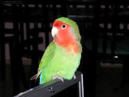 peachface lovebird