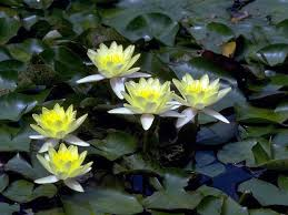 dwarf water lilies