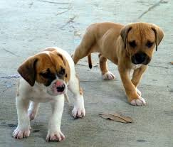 american bulldogs pups