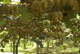 kiwifruit picture