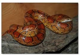 corn snakes breeders