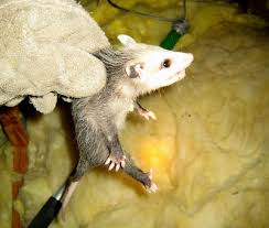 pictures of baby opossums