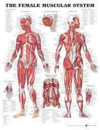 human muscle charts