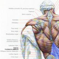 rhomboid minor muscle