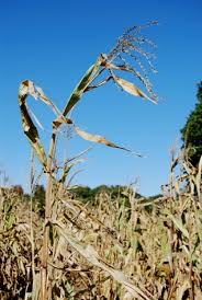 corn stalk image