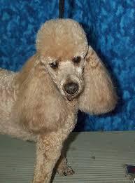 poodle ears