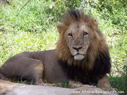 male lion picture