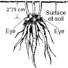 peonies planting