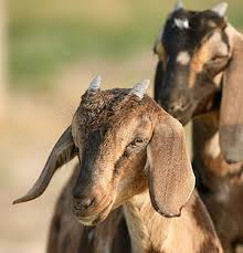 nubian goat pictures