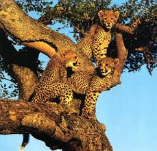 leopards pictures