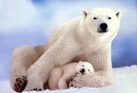 endangered polar bear