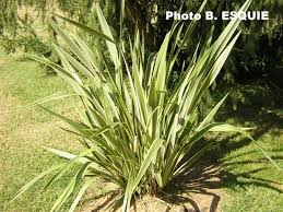 phormium tenax variegata