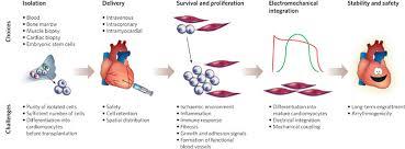 cardiac stem cells