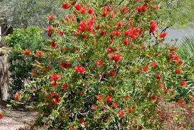 bottlebrush plants