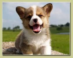 corgi welsh puppy