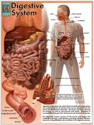 digestive system posters