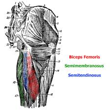 muscles of the hamstring