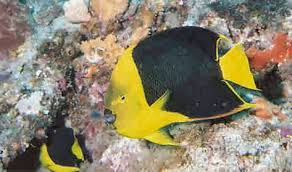 rock beauty angel fish
