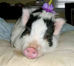 potbelly pig pictures