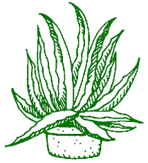 aloe herb