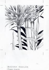 drawing of bamboo