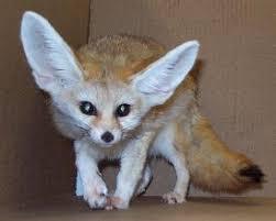 desert fox adaptations