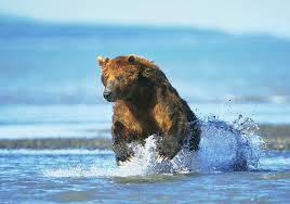 bear hunting salmon