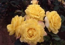 chinatown rose
