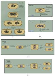 diagram of cell division