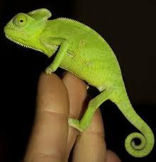 kameleon jemenski