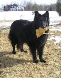 belgian sheep dog