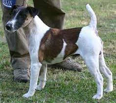 fox terriers pictures