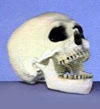 skull jaw