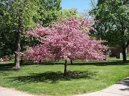 cherry tree picture