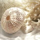 coral shell
