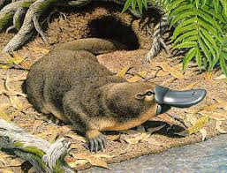 platypuses pictures
