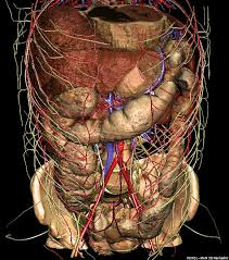 anatomy of abdomen
