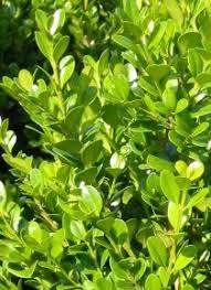 buxus microphylla faulkner