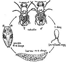 drosophila melanogaster life cycle