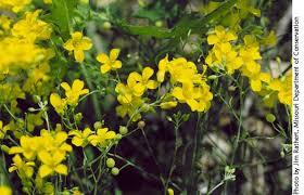 endangered species plant